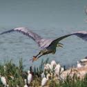 Great Blue Heron (flight sequence)