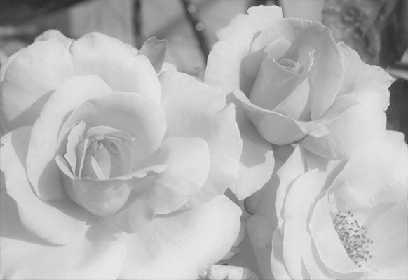 Rosa rosae rosae di paolo-spagg