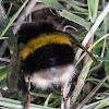 Buff-tailed Bumble Bee
