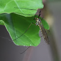 Spotted Crane fly