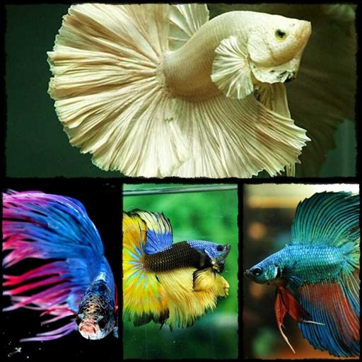Betta fish animation android apps on google play for Betta fish game