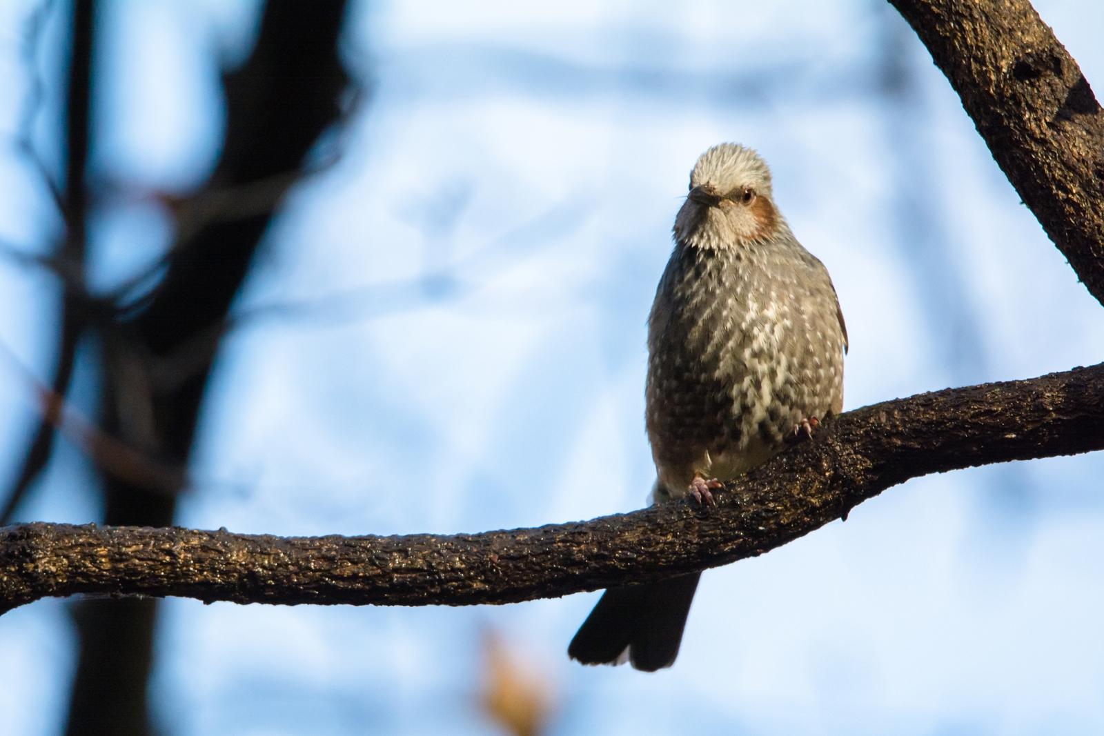 Photo: ぬくもりを待つ Wait for warmth.  じっと待つ 暖かな日が来るまで がまんがまん 春はまだかな  Brown-eared Bulbul. (ヒヨドリ) #cooljapan #365cooljapanmay #birdphotography #birds #kawaii #sigma  Nikon D7100 SIGMA 150-600mm F5-6.3 DG OS HSM Sports [ Day238, January 5th ] (3枚追加:Added 3 photo)
