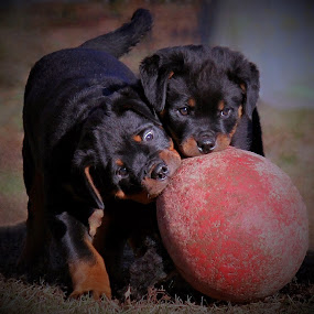 Puppy Fun by Sue Delia - Animals - Dogs Playing ( playing, rottweilers, two, puppies, dogs, pets, fun,  )