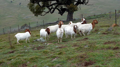 Photo: Goats on One Tree Hill