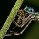 Damselfly with mosquito