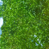 Freshwater Green Algae