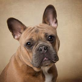 French Bulldog Fine Art Portrait by Jude Stewart - Animals - Dogs Portraits ( bulldog, fine art, portrait, dog, french,  )