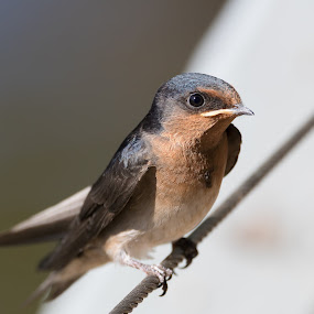 by Steve Hunt - Animals Birds ( bird, queensland, martin, australia,  )