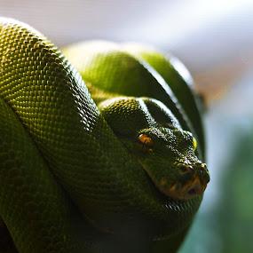 by Jack Goras - Animals Reptiles ( snake )