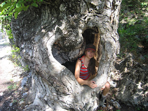Photo: Pum, hollow tree