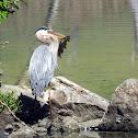 great blue heron(hunting series)