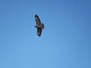 Photo: 23 Jan 14 Trench Middle Pool A Common Buzzard soaring over Trench Middle Pool. (Ed Wilson)