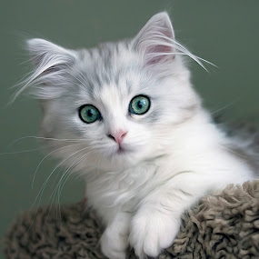 Green Eyed Guy by Amy Gant - Animals - Cats Kittens