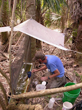 Photo: Servicing FIT trap in palm grove See: http://www.youtube.com/watch?v=2QpMw9Zr_y4