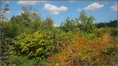 Photo: Iulişca (Fallopia japonica) sau Polygonum Cuspidatum, Polygonum polystachyum - planta invaziva -  in zona la  Parcul Tineretului - 2017.09.10