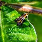 Dycladia Wasp Moth / Mariposa-Dycladia