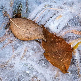 Just The Two Of Us by Jon Kinney - Nature Up Close Leaves & Grasses ( grass, ice, leaves )