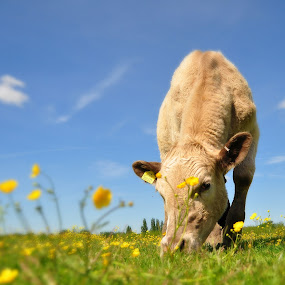 Meadow cow by Tony Steele - Animals Other