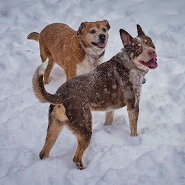 by Amy Ann - Animals - Dogs Playing (  )