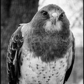 Svenson Hawk by Dave Lipchen - Black & White Animals ( svenson hawk )