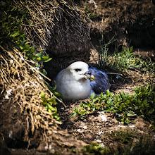 Photo: Bird N°51 Fulmer   Latin: Fulmarus glacialis