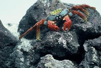 Photo: Crab at Punta Cormorant, Floreana, Galapagos Islands.
