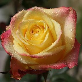 Autumn rose by Giovanna Pagliai - Flowers Single Flower ( autimn, nature, petals, sunny, beauty )