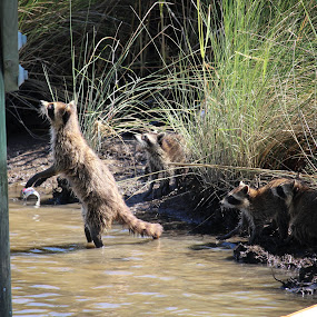 Racoon Family Reunion by Mike Zegelien - Animals Other ( water, animal family, animals, nature, wild animals, racoons )