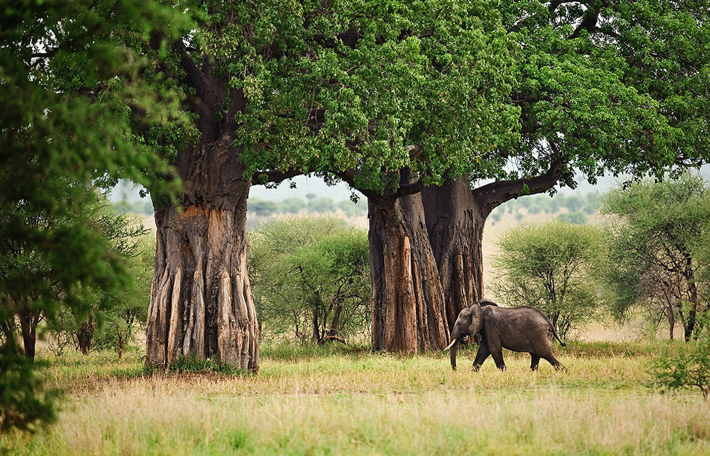 Baobabs and elephants - Park Tarangire's claim to fame