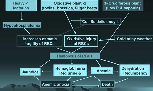Suggested pathogenesis of parturient hemoglobinuria.