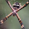 Araña tigre