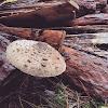 Umbrella fungi