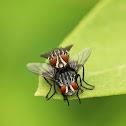 Flesh Flies