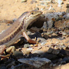 Wedge-snouted Skink