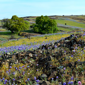 Sea of Purple and Yellow   by Nikki Kean - Landscapes Prairies, Meadows & Fields ( nature, purple, plants, meadow, trees, yellow, flowers, spring,  )