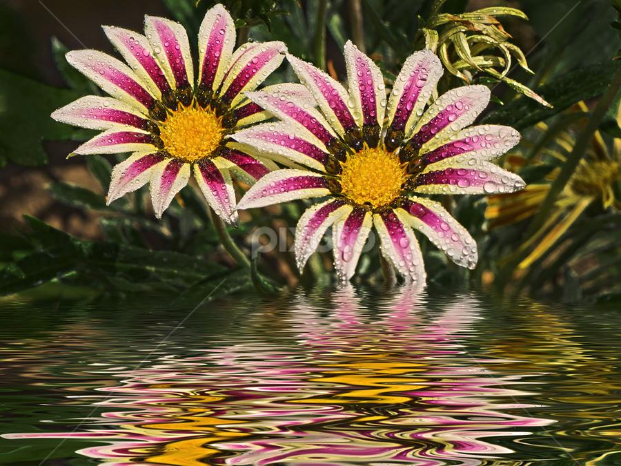beautiful gazania by LADOCKi Elvira - Digital Art Things ( nature, flowers, garden )