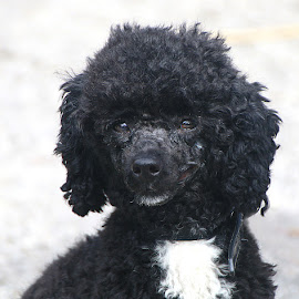 Mickey by Chrissie Barrow - Animals - Dogs Portraits ( poodle, white, black, portrait, dog )