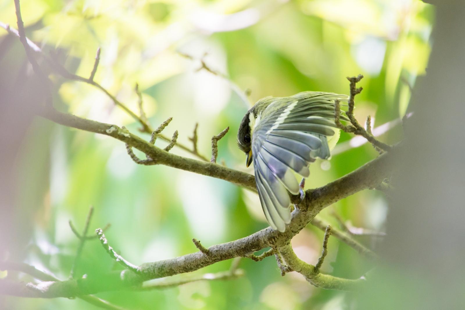 Photo: 希望の羽 Feather of Hope.  巣立ちの季節 明日へと羽ばたく新たな翼 無垢な羽に 希望をのせて  Juvenile of Japanese Tit. (シジュウカラの幼鳥)  #birdphotography #birds  #cooljapan #kawaii  #nikon #sigma  Nikon D7200 SIGMA APO 50-500mm F5-6.3 DG OS HSM  ・小鳥の詩朗読 /poetry reading https://youtu.be/gnejJmisA24?list=PL2YtHGm0-R3qVsaqvQe9OYdJFCkI98wzF