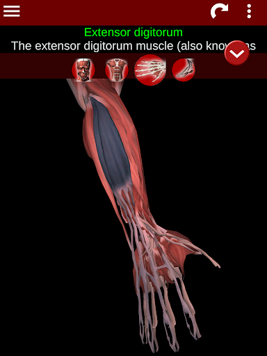Muscular System 3D (anatomy) 2.0.8 Screenshots 19