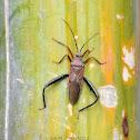 Leaf-footed Bug/Coreid Bamboo Bug