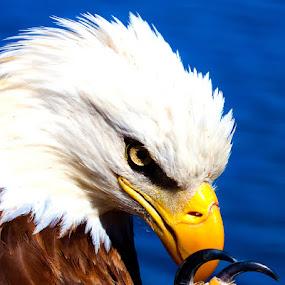 American Eagle by William Rainey  - Animals Birds ( animals, wildlife, ouachita national forest, arkansas,  )
