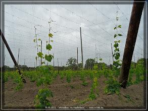 Photo: das Hopfenland ist erreicht -- die ersten Reben schlängeln sich bereits hoch