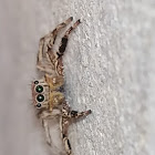 Tropical jumping spider