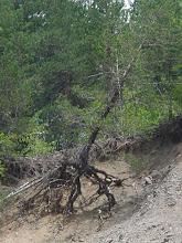 Photo: Bu ağaç neden topraksız bırakılmış? Niye?