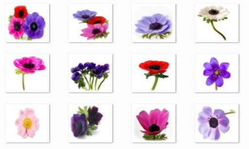 Anemone Flowers Connect Game
