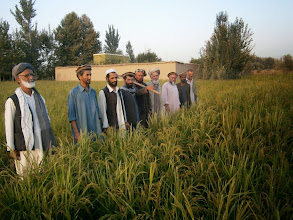 Photo: Farmers observing crops on a SRI rice field at Taloqan, Takhar, Afghanistan. [Photo Courtesy of Ali Muhammad Ramzi, 2013]