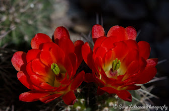 Photo: I just love all the colors of the desert....  saija-lehtonen.artistwebsites.com  #cactusflowers   #cactusflower   #cactus   #flowerphotography   #flowerscolor   #floralphotography   #floraltoday   #nature   #southwest