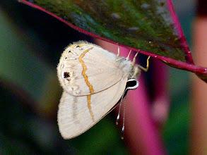 Photo: CHARCOAL-TOPPED (HYGENIUS) SOMBERMARK--euselasia hygenius-- CEMETARY, TENA, NAPO