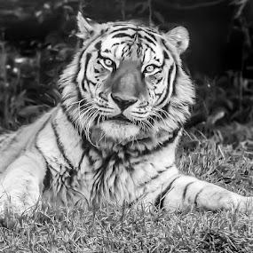 by Rajib Bahar - Animals Lions, Tigers & Big Cats (  )