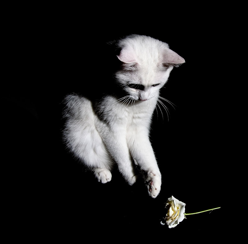 Knut e la rosa di Nicola Serena